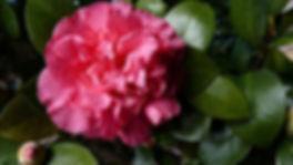 japonica pink2.jpg