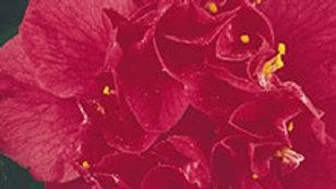 C. japonica 'Odoratissima'