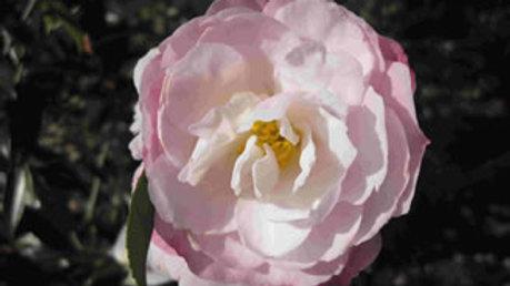 C. sasanqua 'Paradise Pearl'