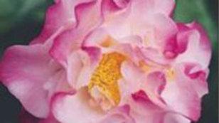 C. japonica 'Nuccio's Jewel'