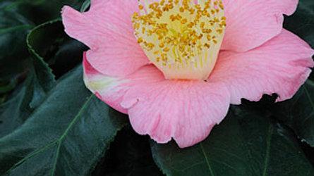 C. japonica 'Quercofolia'