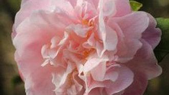 C. japonica 'Confetti Blush'