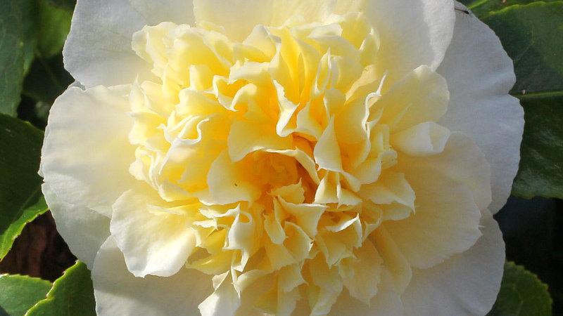 C. japonica 'Gwenneth Morey'