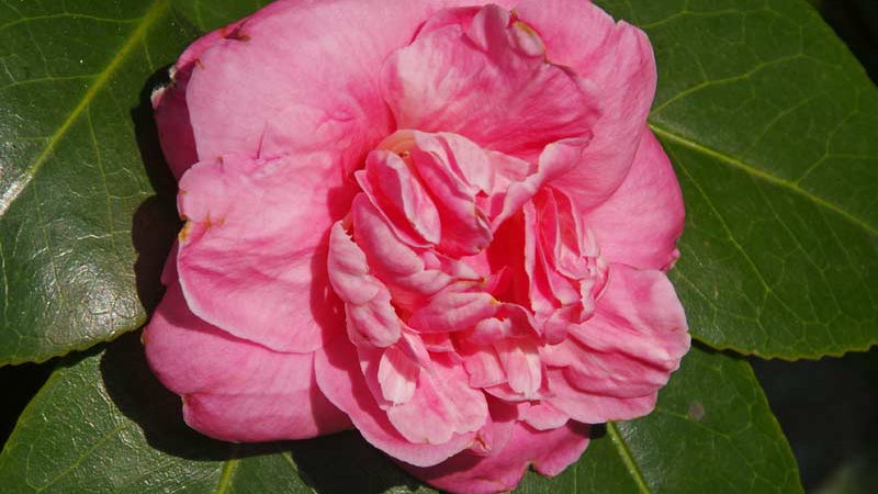 C. japonica 'Otahuhu Beauty'