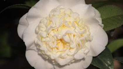 C. japonica 'Man Size'