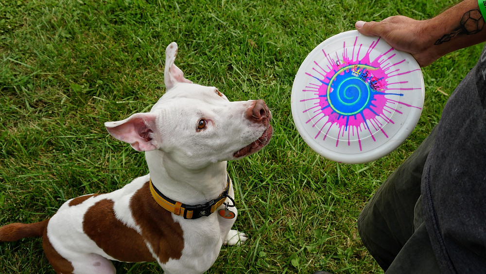 Jet is ready to catch. Chris is ready to throw his favorite disc, a Super Swirl!