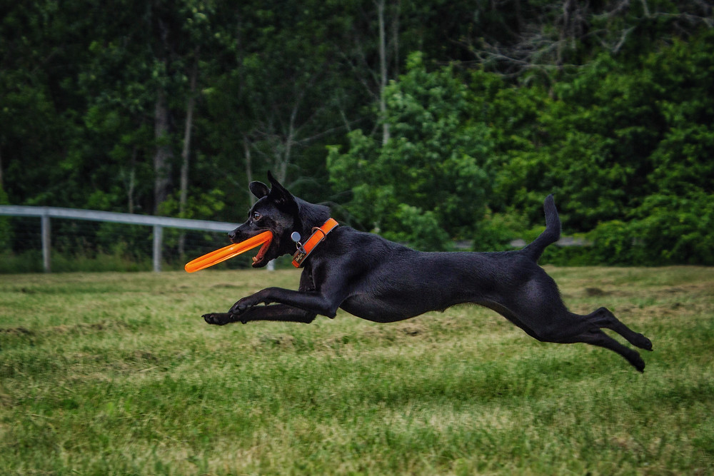 Ultra getting her exercise. Playing disc is a great way to exercise your dog.