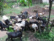 Livestock pics.jpg