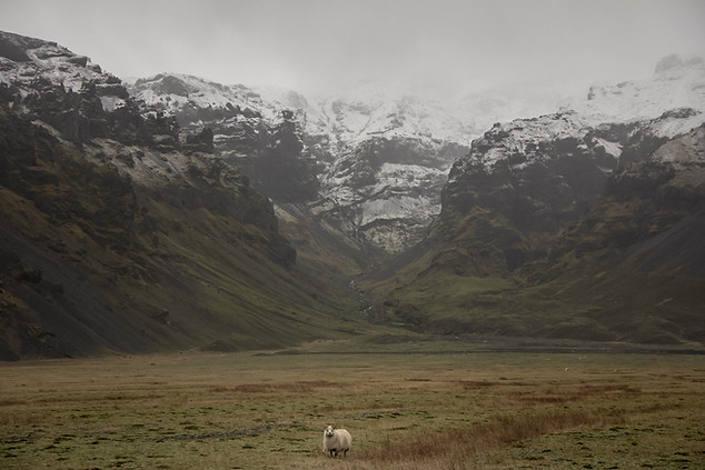 Nature Photography of lonely sheep in front of Iceland mountains