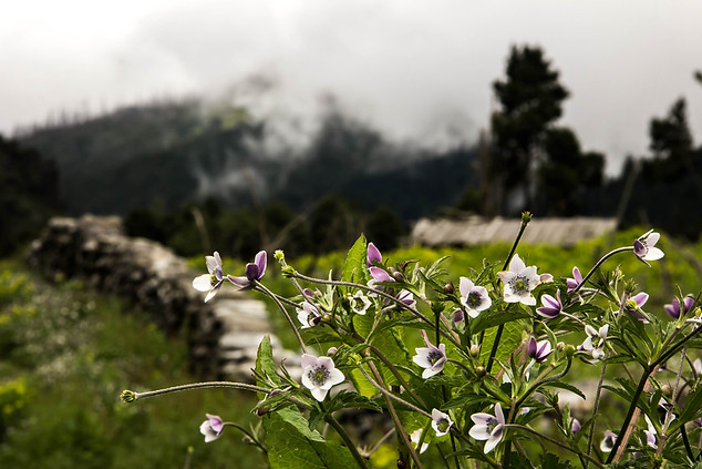 Nature Photography of Nepal flowers in Dhorpatan Hunting Reserve