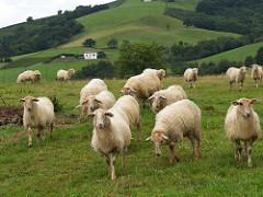 Cincuenta ovejas se suicidan