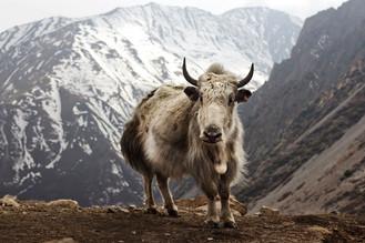 Caminantes de altura del Himalaya