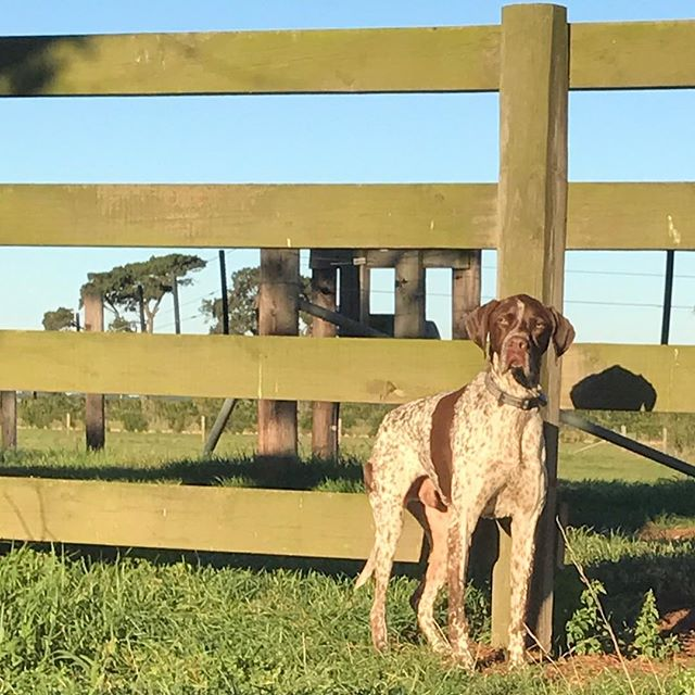 Handsome boy! #germanshorthairedpointer #poundpuppy