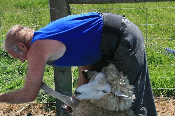 Shearing.jpg