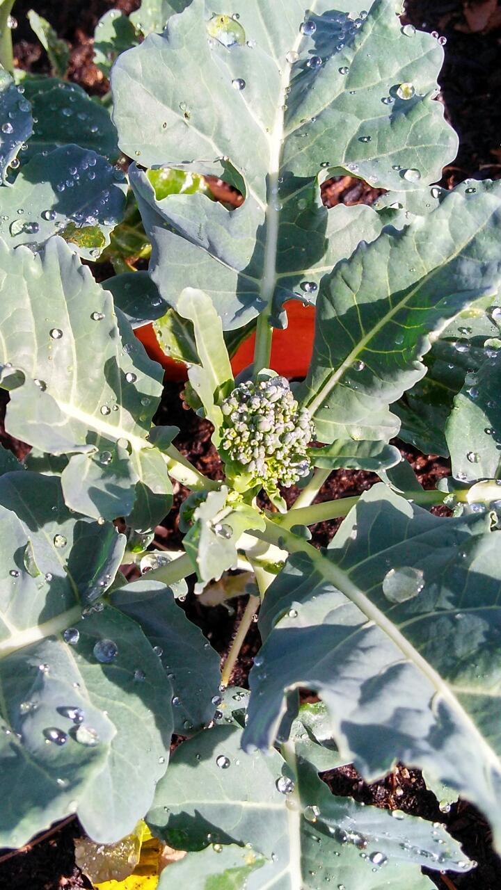 Broccoli sighting