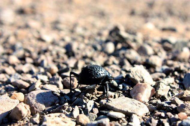 Darkling Beetle (family Tenebrionidae)