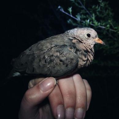 Common Ground Dove (Columbina passerina)