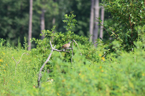 Northern Bobwhite (Colinus virginianus)