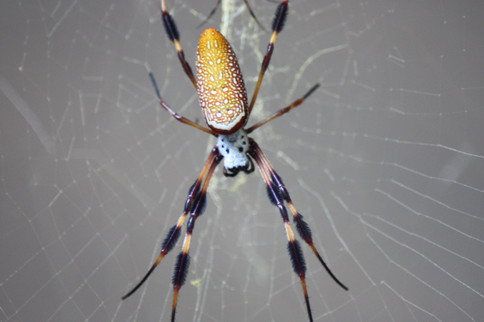 Golden Silk Orb-weavers (Nephila sp.)