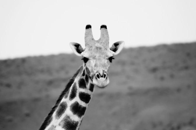 Giraffe (G. camelopardalis)
