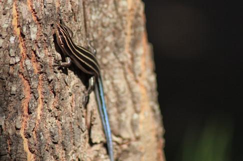Five-lined Skink (Plestiodon fasciatus)