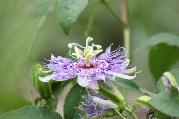 Purple Passionflower (Passiflora incarnata)