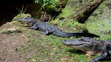 Thinking about alligators