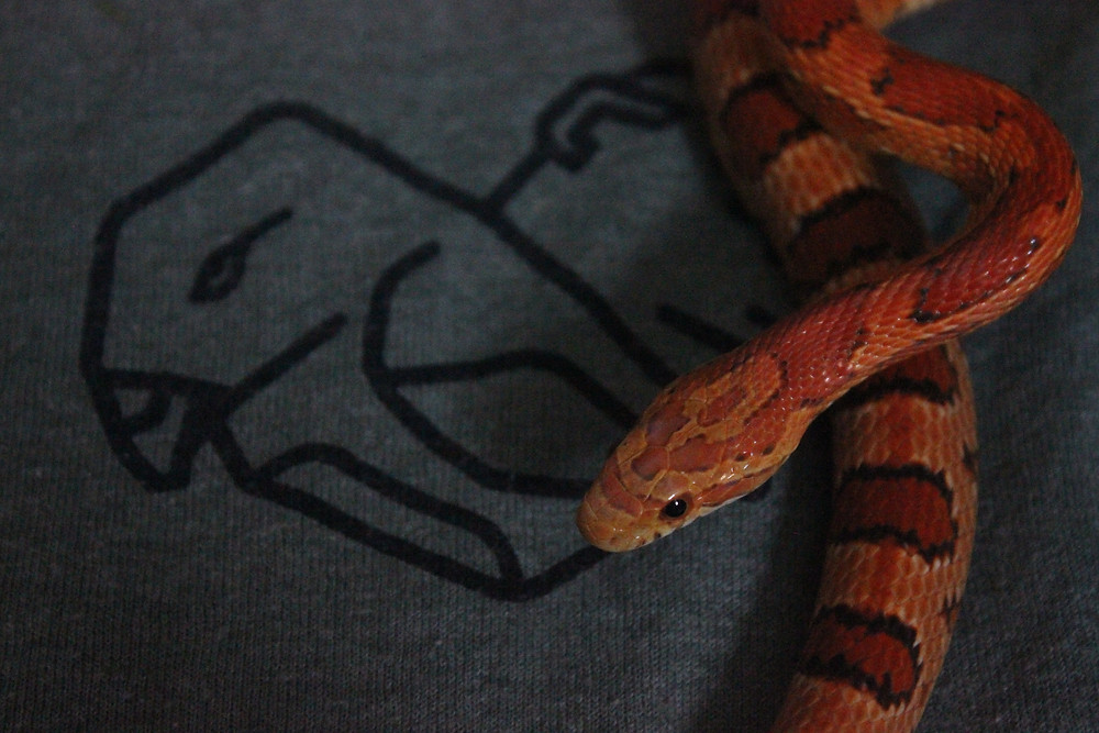 Little Giver, our red rat snake