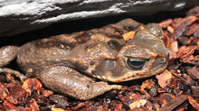 Toxic Toads