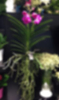commande,orchidee,vanda,auxerre,yonne