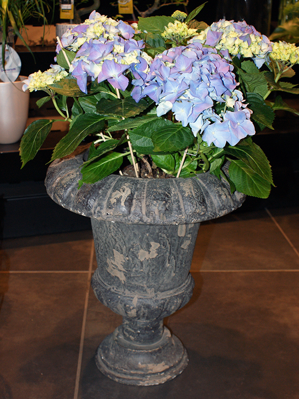 pot,hortensia,auxerre,fleuriste-yonne.JPG