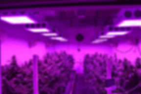 Black-Dog-LED-Commercial-Grow-In-Flower-FS.jpg