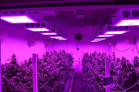Black-Dog-LED-Commercial-Grow-In-Flower-FS.jpg