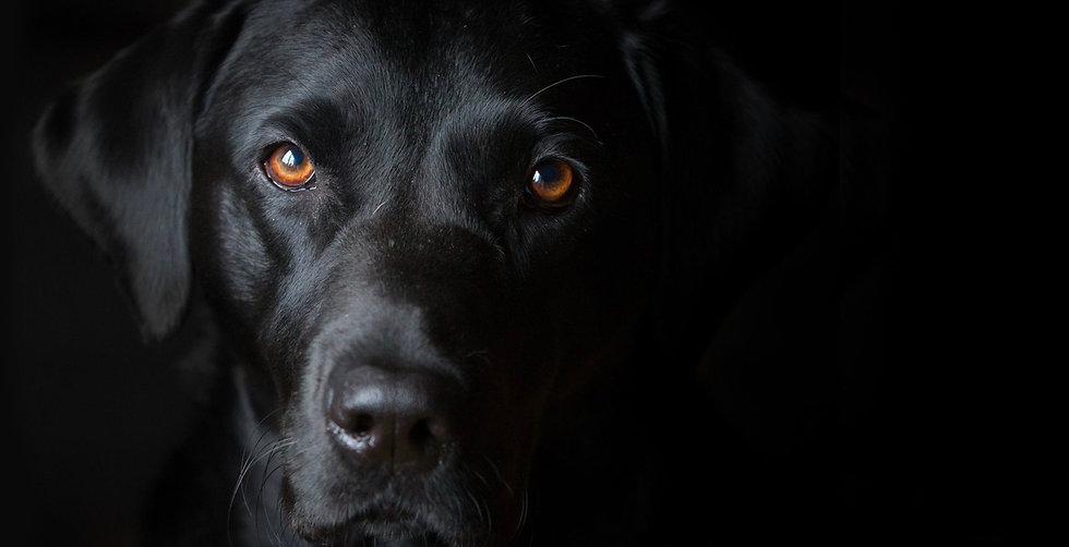 Perro labrador negro.jpg