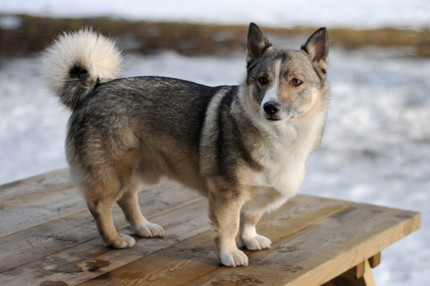 The Swedish Vallhund - Farm Worker and Family Friend