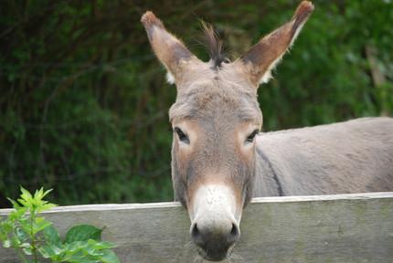 Selecting a Guard Donkey