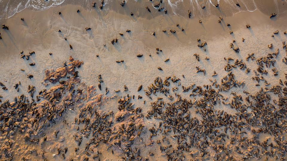 A colony of 200,000+ cape fur seals - Cape Cross Seal Colony, Namibia