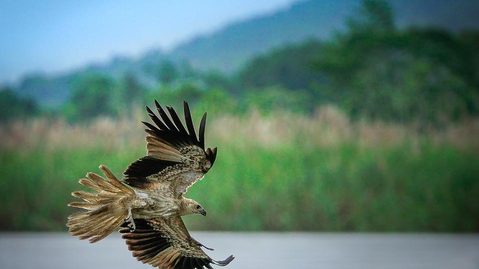A whistling kite hunts for fish along the Sepik River - Papua New Guinea