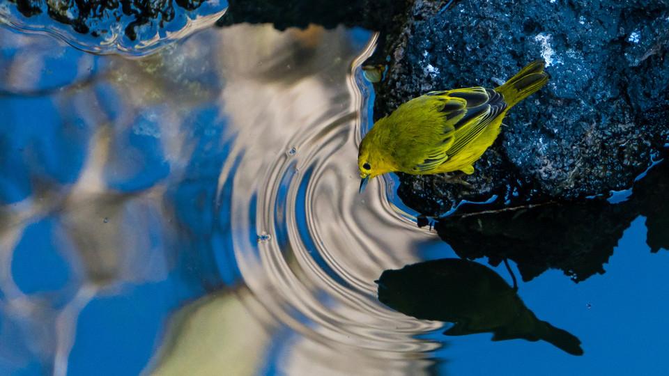 A Darwin's finch on Isabella Island - Galapagos, Ecuador