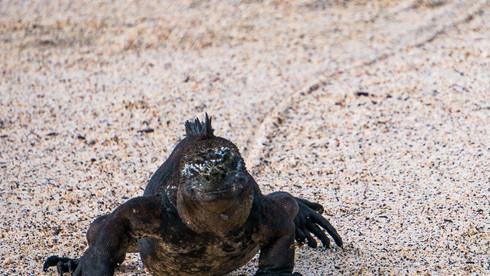 A marine iguana charges towards the ocean at Tijeretas on San Cristobal Island - Galapagos, Ecuador