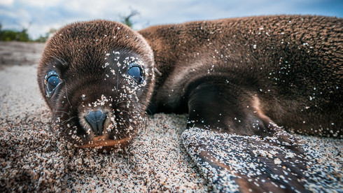 A sea lion pup plays on a beach on San Cristobal Island - Galapagos, Ecuador