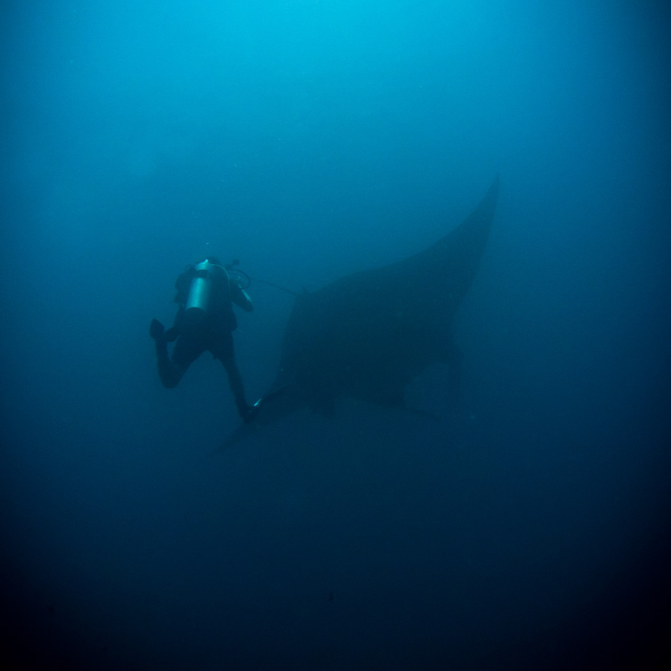 A friend chases an oceanic manta ray - Raja Ampat, Indonesia