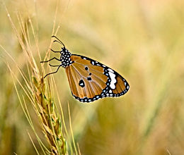 5_BLANK  Elwood Butterfly Preserve Herb