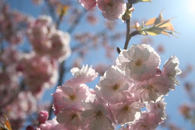 千曲川桜堤 六~八分咲き