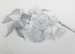 八重桜 普賢象