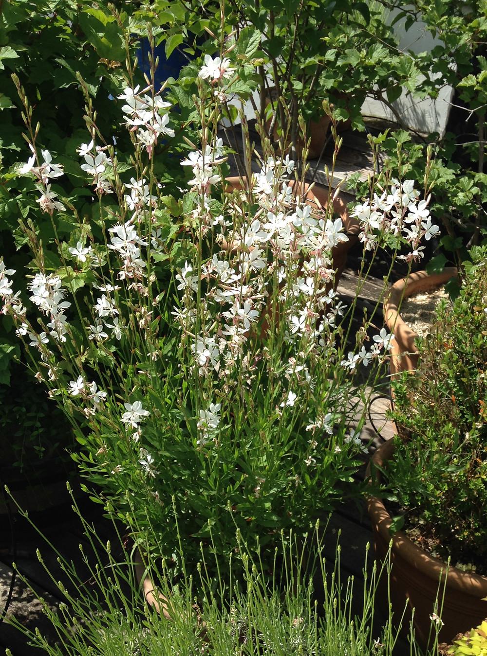 Gaura blanche