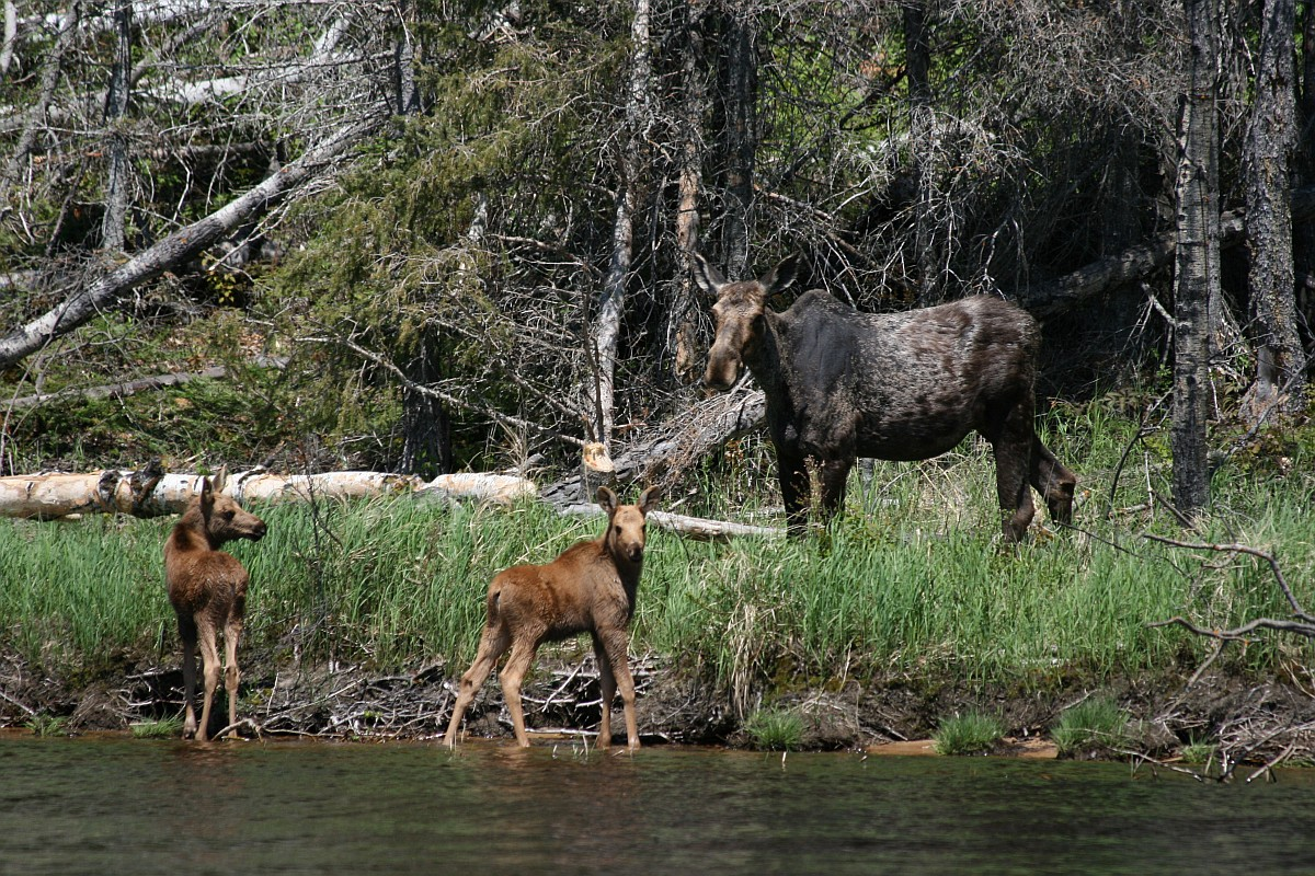 Moose with two calves