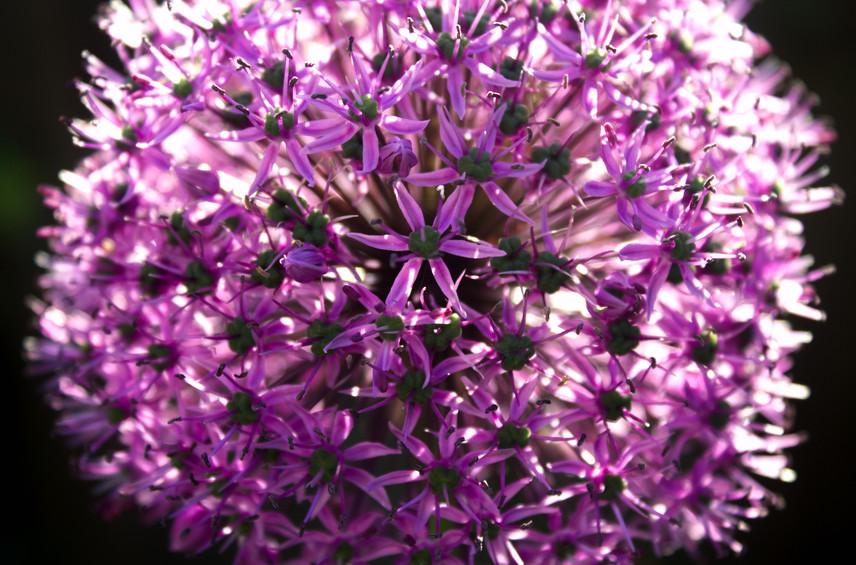 Allium Bang