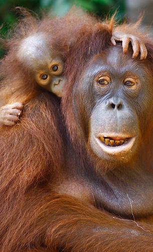 OrangutanRimbaRaya.png