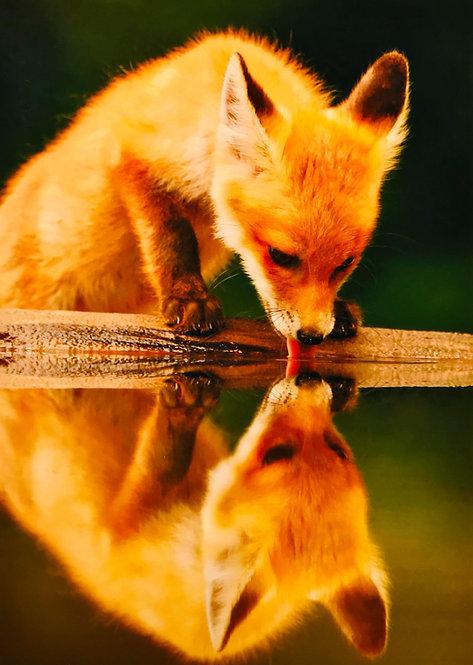 Fox - Brutus Östling